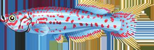 Blue Lyretail FISHAO website